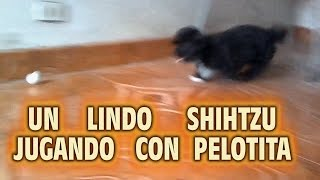 /shihtzu Puppies Playing With Ball / Shihtzu Cachorro Jugando Con Pelotita