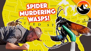 SPIDER-MURDERING WASPS - 10 Things You Probably Need to Know!