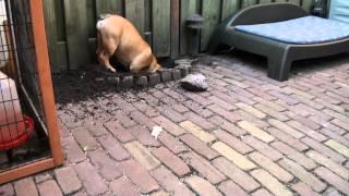 Zelda Aan Het Graven In De Tuin (engelse Bulldog)