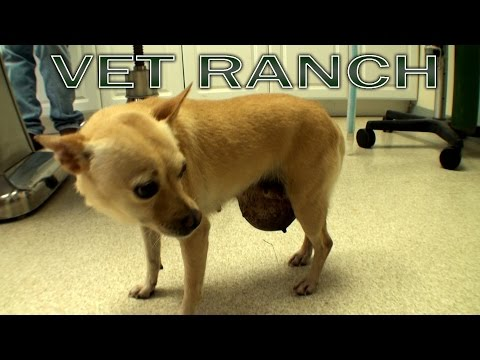 Giant Abdominal Hernia, Chihuahua, Graphic Surgery