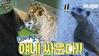 A liger(lion+tiger) and bear fighting