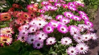 видео Мезембриантемум: фото, посадка, уход, выращивание из семян