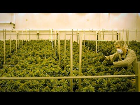 Welcome To Big Marijuana's Factory Floor