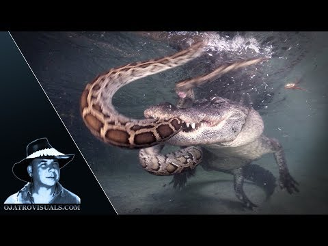 Alligator Attacks Python Underwater 01
