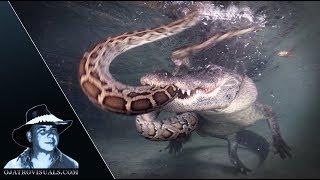 Alligator Attacks Python Underwater 01