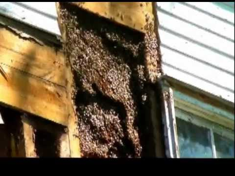 Amish Guy Romoves Giant Huge Honey Bee Hive In The Wall Of