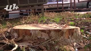 Քաղաքապետարանը հաստատում է, որ ծառերը հատվել են