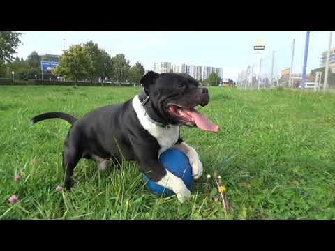 Staffordshire bull terrier- crazy dog