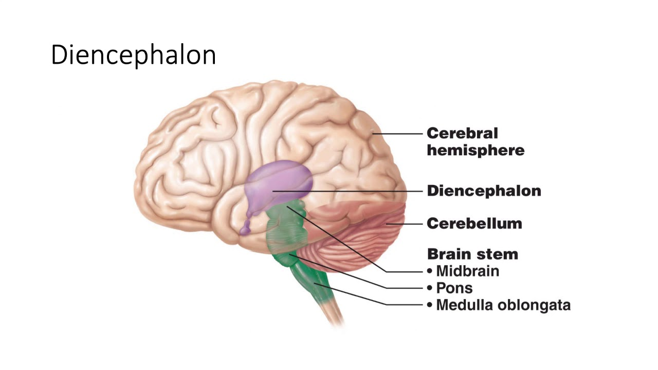 The gallery for --> Diencephalon Anatomy