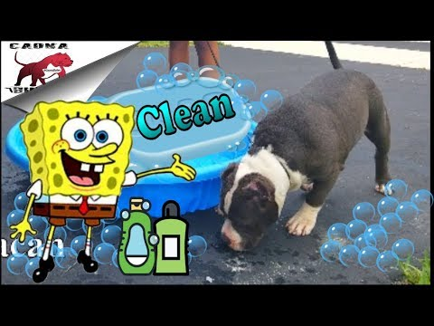 American Bully: We Like em Clean - (DJI Mavic Pro footage)
