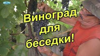 видео Виноград на беседке