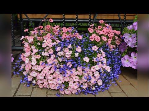 Профилактика болезней петунии. | выращивание | обработать | мучнистой | ампельной | ампельная | петуния | петунии | болезни | хлороз | росы