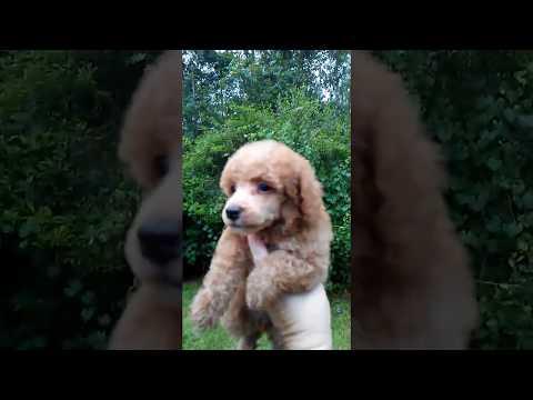 Autumn Lillybee mini poodle