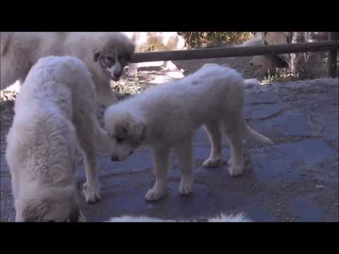 PYRENEAN MOUNTAIN DOG'S PUPPY  - LESCUN DE LA BORDA D'URTX