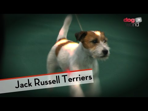 Jack Russells - Best of Breed