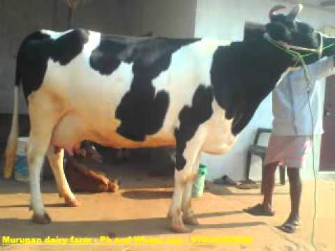How to Sell Cows on OLX by Jiji Kenya