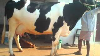 HIGH YIELDING HF,JERSEY COWS FOR SALE IN KERALA - Ph:07639299186