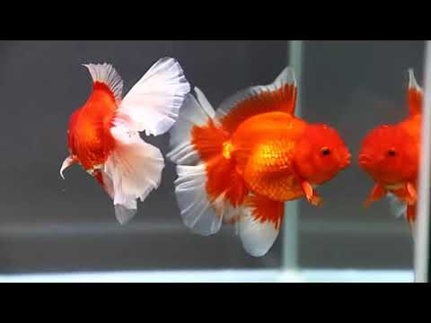 Goldfish Kingdom Beautiful Oranda