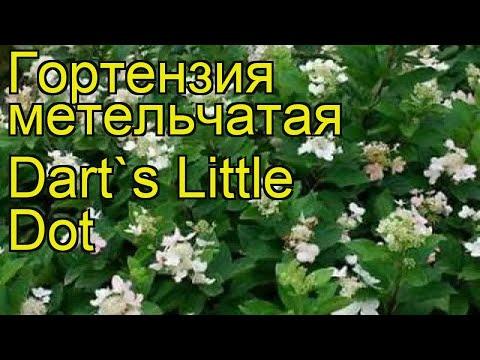 Гортензия метельчатая Дартс литл дот. Краткий обзор, описание hydrangea paniculata Dart`s Little Dot