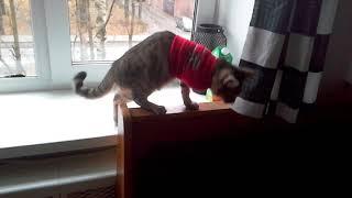 Кот на трех лапах - сутки после ампутации