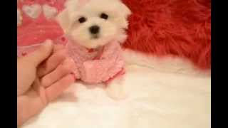 Female Tiny Teddy Bear Maltese Puppy