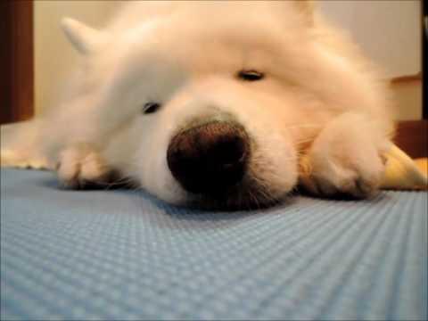 #35『夢』  | サモエド クローカのモフモフ日記 | 犬といっしょ | アイリスペットどっとコム