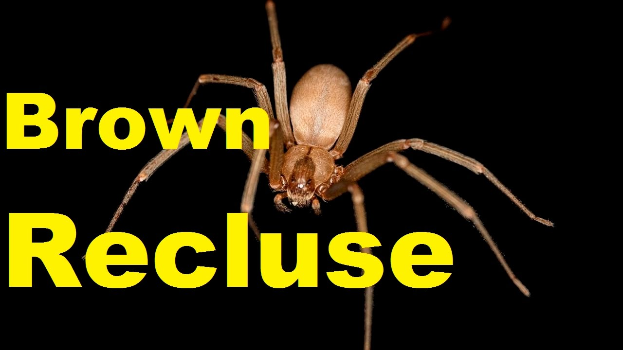 Top 10 Shocking Brown Recluse Spider Facts Brown Recluse Bite