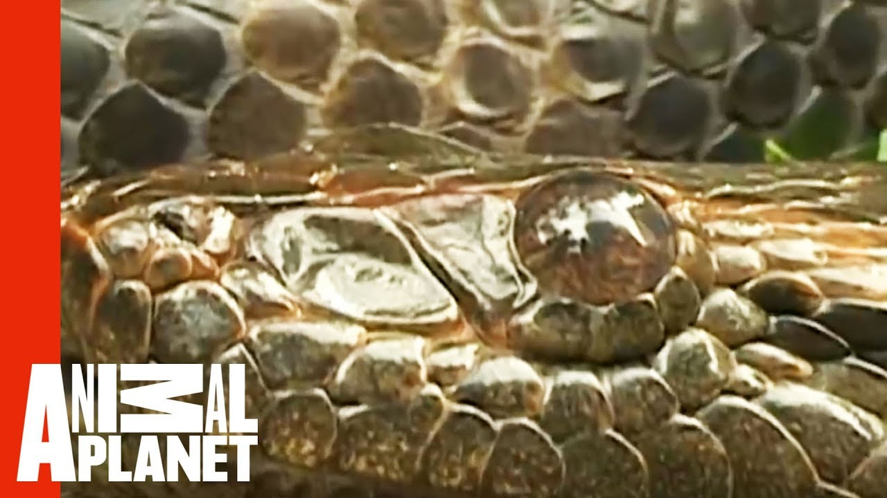 Anaconda Engulfs Man's Hand | World's Scariest Animal Attacks