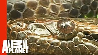 Anaconda Engulfs Man