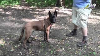Дрессировка собак, как научить щенка, команда голос