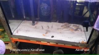 17.07.2013 Пираньи наттерера едят золотую рыбку