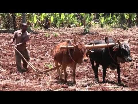 Oxen Yoke