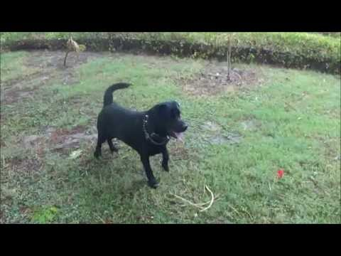 Labrador playing and retrieving