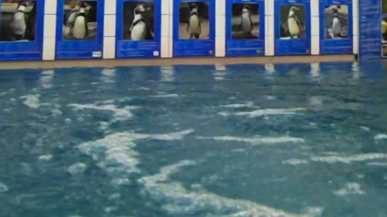 Mit Pinguinen Schwimmen
