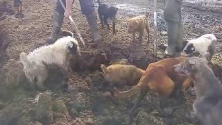 ОГРОМНЫЕ КРЫСЫ И СОБАКИ!!   Собаки ловят больших крыс! Ratting with terriers  18+