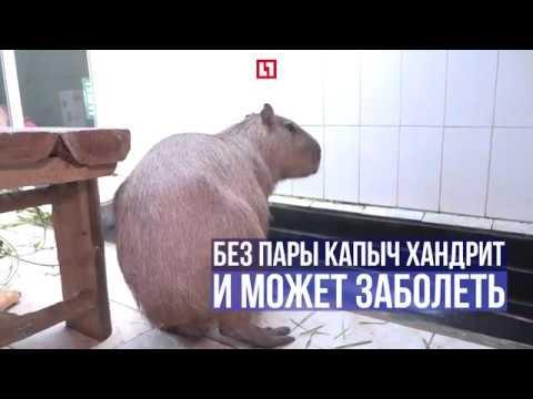 Капибара Капыч в активном поиске