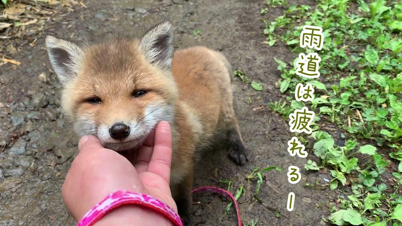 【生後2ヶ月】初めての遠出で赤ちゃんキツネに異変が? There is something wrong with the little fox! ??