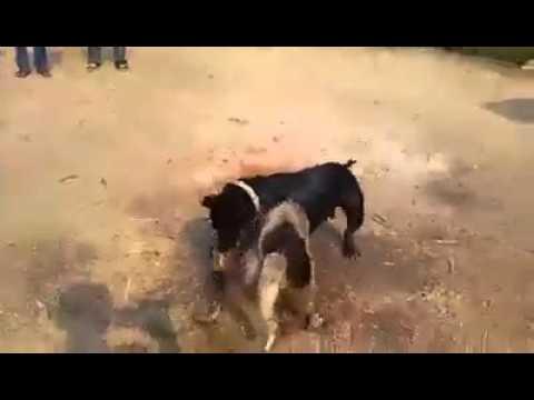 Aprende a Destrabar a Los Pit bulls