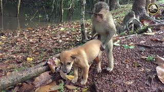 You Will Never Stop Laughing When See This Video - Monkeys VS Dog