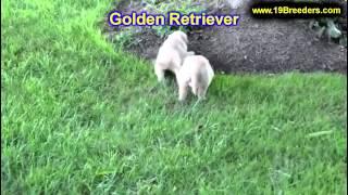 Golden Retriever, Puppies, For, Sale, In,omaha ,nebraska, Ne,lincoln, Bellevue, Grand Island