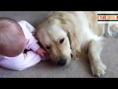 照顾宝宝的金毛狗狗-healing DOG with a BABY