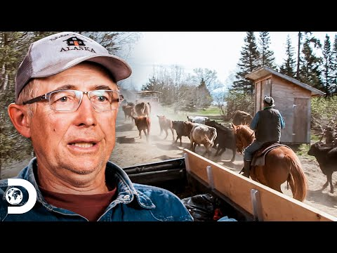 Los Kilcher se divierten arreando el ganado   Alaska: La últ