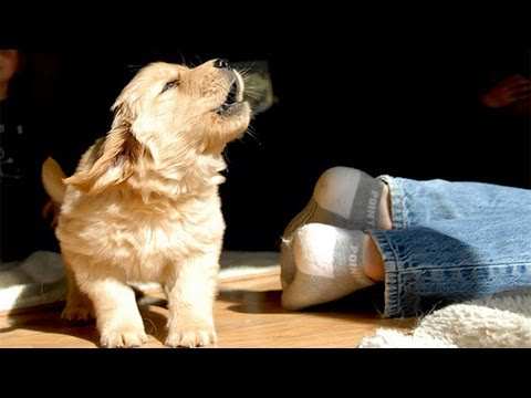 Too Cute  Puppies Barking and Playing