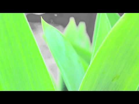 Iris Flowers camera focus, DSLR test video, Canon EOS 650D video test, beautiful video