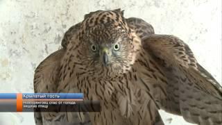 Новоуренгоец спас от голода хищную птицу.