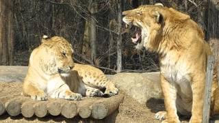 El felino más grande del mundo: Ligre