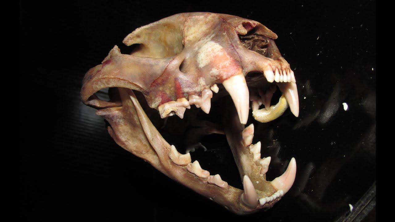 serval skull before degreasing leptailurus serval youtube