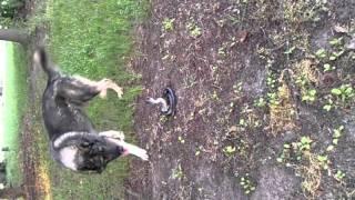 Snake Vs German Shepherd (jake Won)