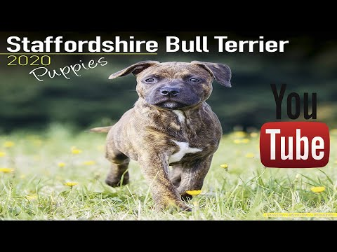 Staffordshire Bull Terrier Puppies - Dog Breed 2019 - 2020