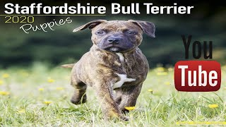 Staffordshire Bull Terrier Puppies  Dog Breed 2019  2020